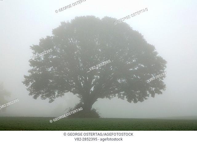 Oak in fog, Yamhill County, Oregon
