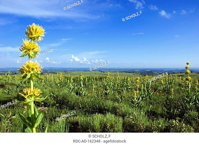 Great Yellow Gentian Auvergne France Gentiana lutea