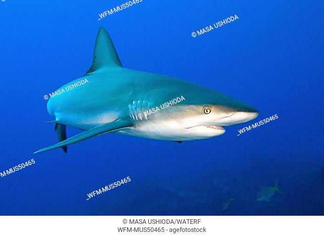Caribbean Reef Shark, Carcharhinus perezi, West End, Caribbean Sea, Bahamas