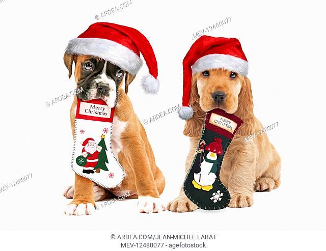 Boxer and English Cocker Spaniel Dog both wearing