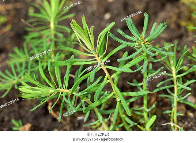 cypress spurge (Euphorbia cyparissias), young leaves before flowering, Germany