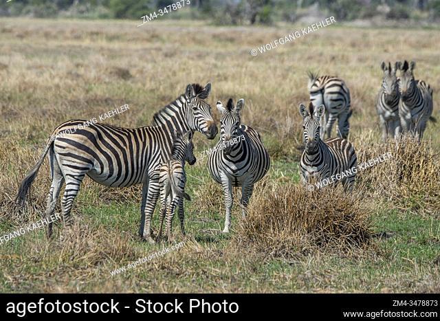 Plains zebras (Equus quagga, formerly Equus burchellii) with a baby on the floodplains in the Gomoti Plains area, a community run concession