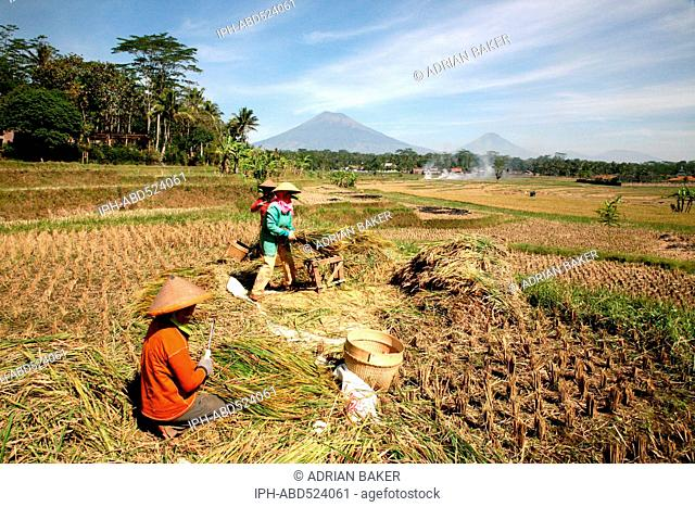 Indonesia Central Java Magelang The rice harvest on the plains between the many volcanoes of the area
