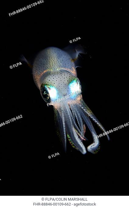 Bigfin Reef Squid (Sepioteuthis lessoniana), Night dive, TK1 dive site, Lembeh Straits, Sulawesi, Indonesia
