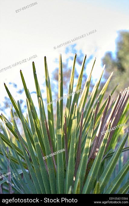 Some palmetto or margalló branches typical of arid and dry regions, generally close to the coast, in North Africa, Spain