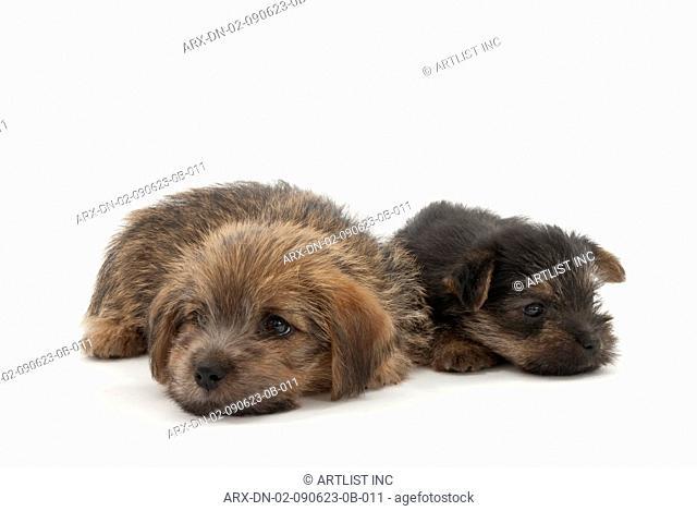 Siblings of Norfolk Terrier