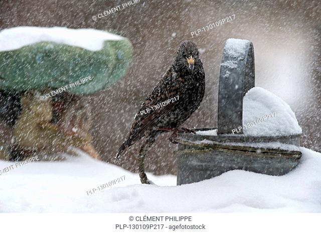 Common Starling / European Starling Sturnus vulgaris perched on metal watering can in garden during snow shower in winter