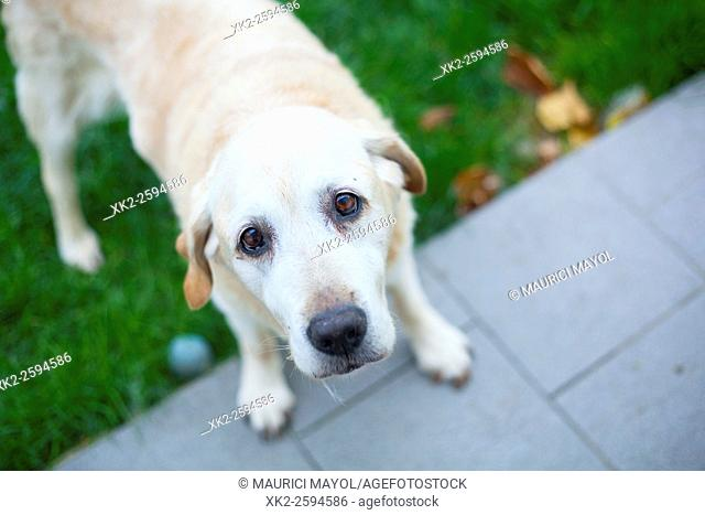 Golden labrador waiting for food at the garden