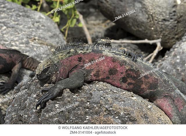 A Red marine iguana on Hood Island (Espanola Island) in the Galapagos Islands, Ecuador