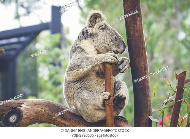 A sleepy koala bear lounging in a tree