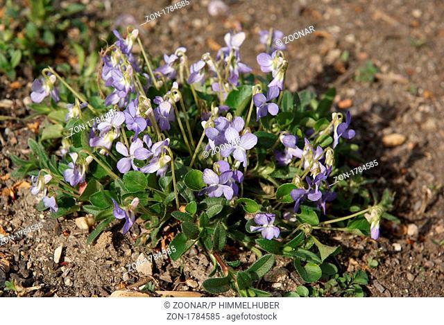 Viola rupestris, Felsenveilchen, violet