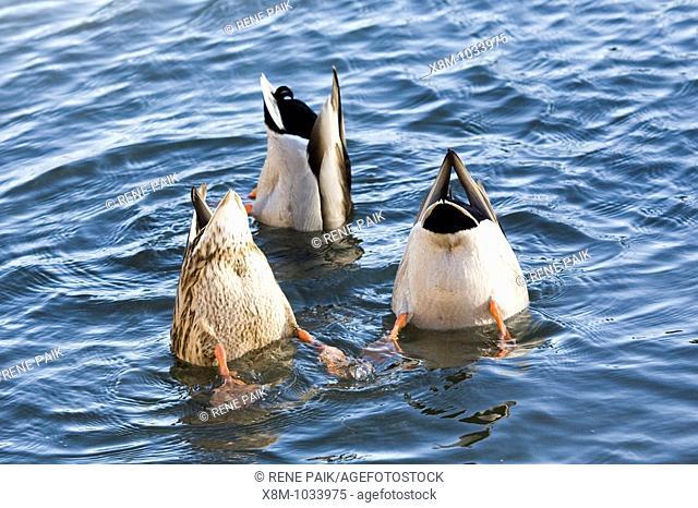 Three Mallard ducks (Anas platyrhynchos, fam. Anatidae) with their butts in the air, humorously foraging for vegetation
