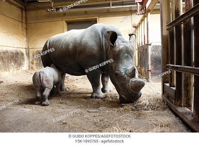Hilvarenbeek, Netherlands. Rhino Rhinocerotidae mother with her male calf of four weeks in the stables of Safari-park / Zoo: 'Beekse Bergen'