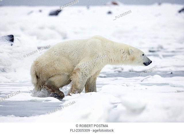 Polar Bear Swimming In The Icy Waters Of Hudson's Bay;Churchill Manitoba Canada