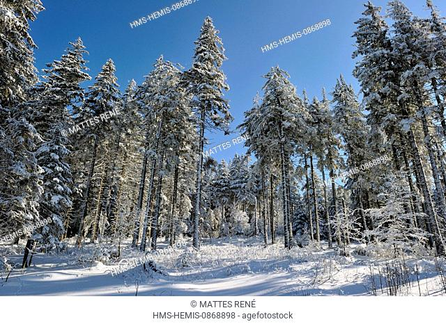 France, Haut Rhin, Hautes Vosges, snow covered forest near the Lac Blanc, Col du Calvaire