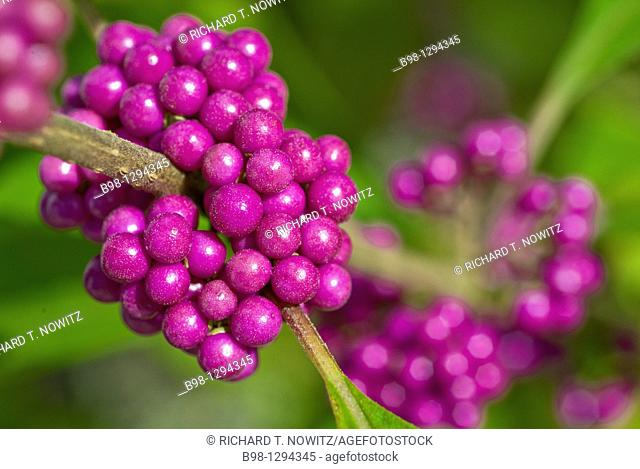 Callicarpa giraldii 'Profusion' also called the beauty bush