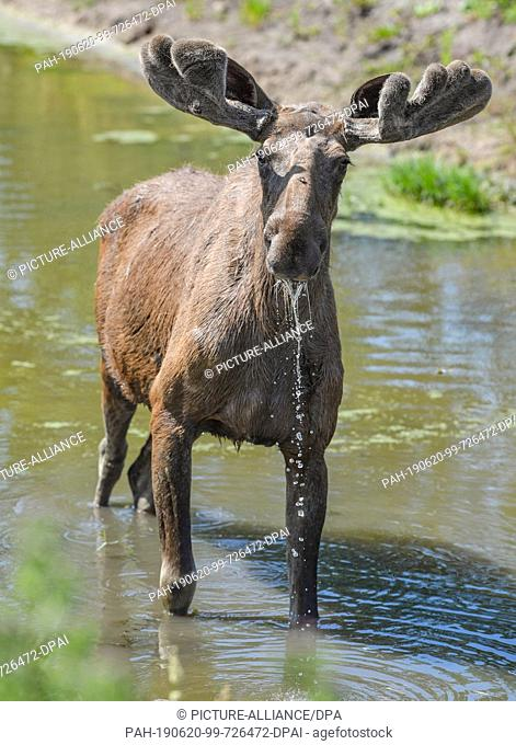 19 June 2019, Brandenburg, Kleptow: The seven year old moose bull Fabian can be seen in a game enclosure of Thomas Golz, owner of the game enclosure Golz moose...