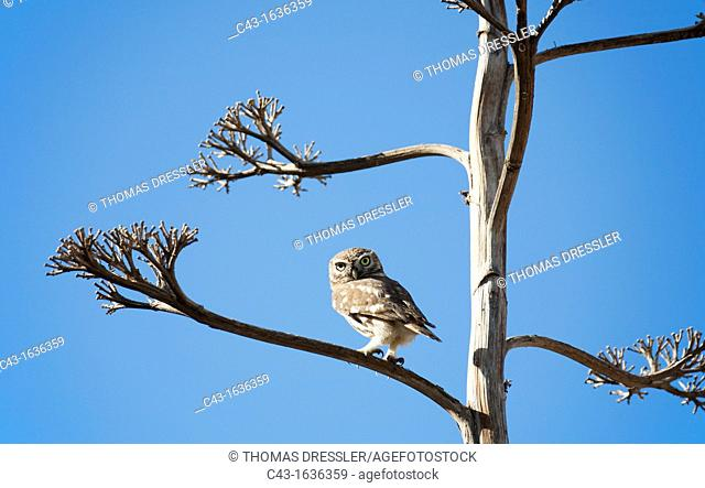 Little Owl Athene noctua - It is partly diurnal and often perches prominently during the day  Massa National Park south of Agadir  Southwest Morocco