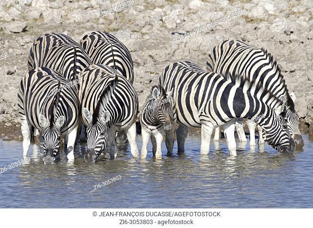Herd of Burchell's zebras (Equus quagga burchellii), adults with young animal standing in water, drinking, Okaukuejo waterhole, Etosha National Park, Namibia