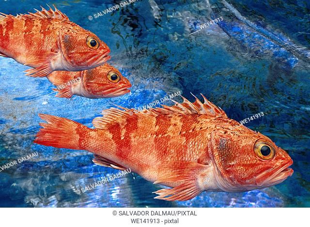 Fish rascacio, Scientific name Helicolenus dactylopterus, digital assembly, Girona town, Spain, Europe