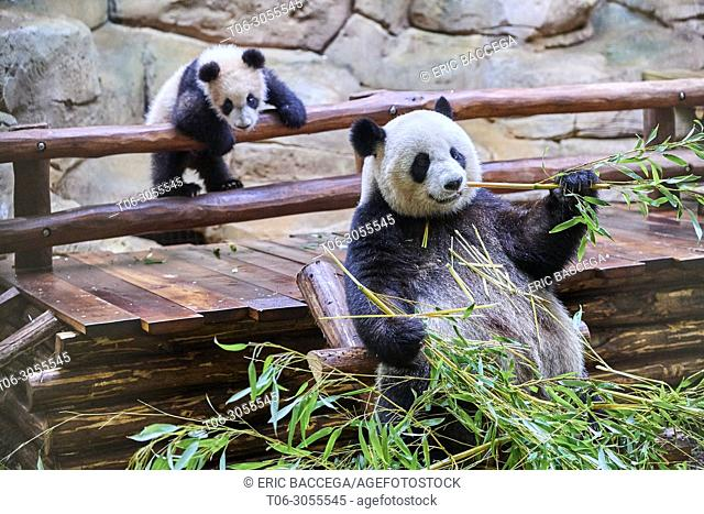 Female giant panda Huan Huan feeding on bamboo with her playfull cub in the background (Ailuropoda melanoleuca). Yuan Meng