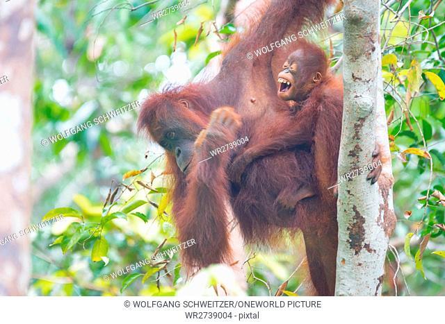 Indonesia, Kalimantan, Borneo, Kotawaringin Barat, Tanjung Puting National Park, Orangutan Lady with Child, Orangutan (Pongo pygmaeus)