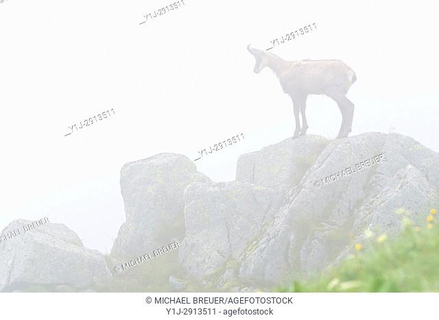 Chamois (Rupicapra rupicapra) in Mist, Hohneck, Vosges, Alsace, France, Europe