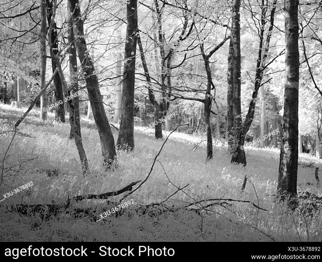 Infrared image of woodland at Fuller's Hay in the Mendip Hills, North Somerset, England