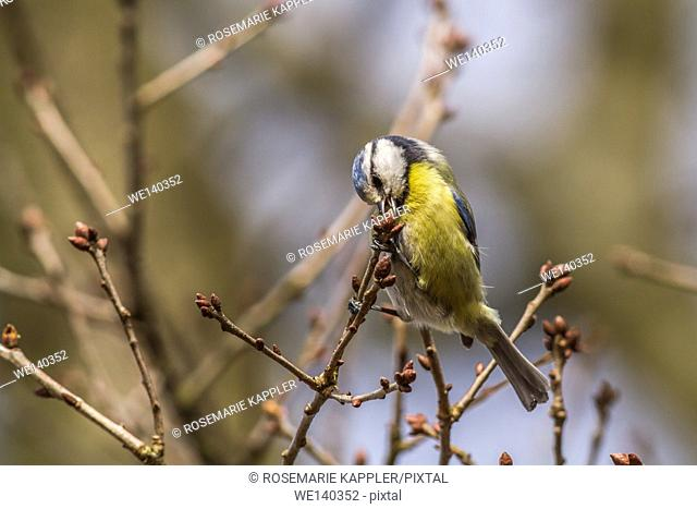 Germany, Saarland, Homburg, A blue tit picks on a branch