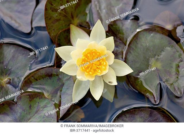 Pygmy Water-lily (Nymphaea tetragona), Pygmaea Helvola variety, flower and leaves, Thuringia, Germany