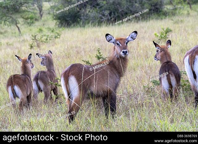 Waterbuck (Kobus ellipsiprymnus) graze the lush grasslands , Lake Mburo National Park, Uganda, Africa