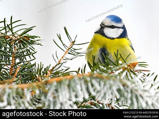 14 February 2021, Brandenburg, Sieversdorf: A blue tit (Cyanistes caeruleus) in winter. Photo: Patrick Pleul/dpa-Zentralbild/ZB
