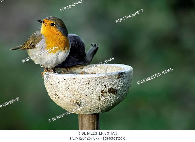 European robin Erithacus rubecula at bird feeder in garden, Belgium