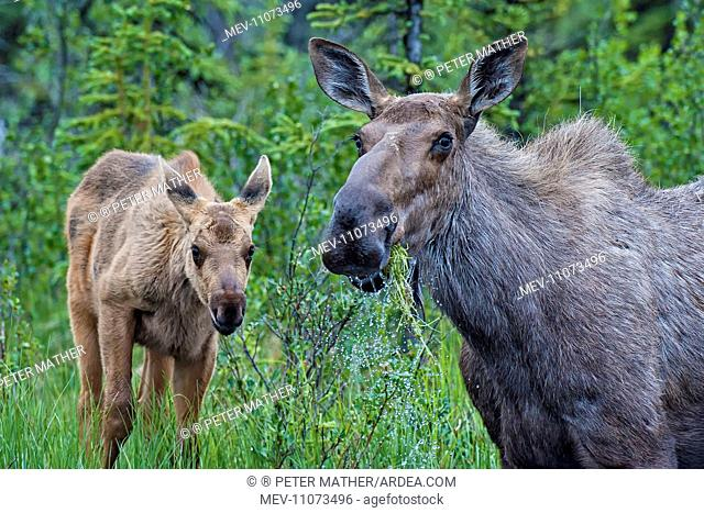 Moose / Elk cow & newborn calf feeding in lake Boreal Forest, Yukon, Northern Canada Moose / Elk cow & newborn calf feeding in lake Boreal Forest, Yukon