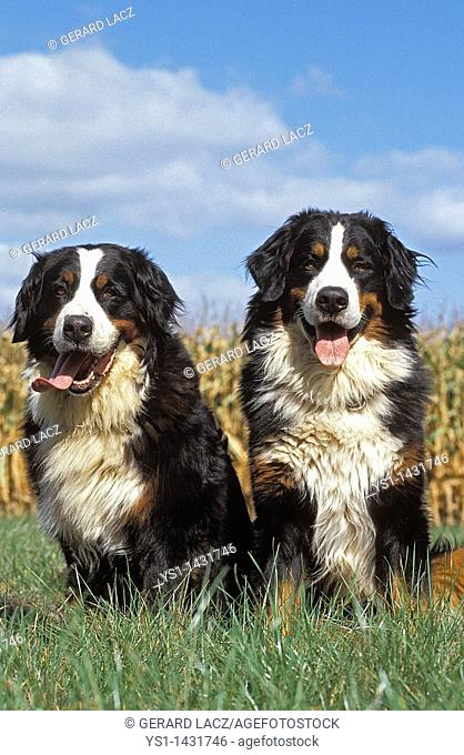 BERNESE MOUNTAIN DOG, PAIR OF ADULTS SITTING ON GRASS