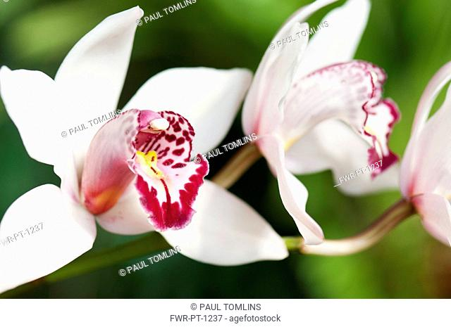 Orchid, Close up of white flowers with pink tint