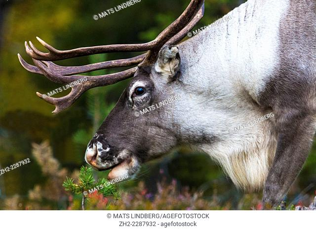 Close up photo of reindeer in profile with big antler, Gällivare, Sweden