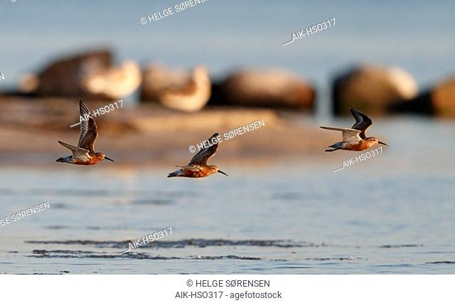 Three adult Curlew Sandpipers (Calidris ferruginea) in flight over the beach at Niva in Denmark