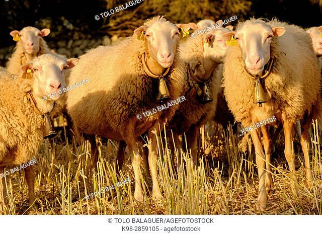 ovejas mallorquinas, Cas Canard, Sencelles, Mallorca, balearic islands, spain, europe