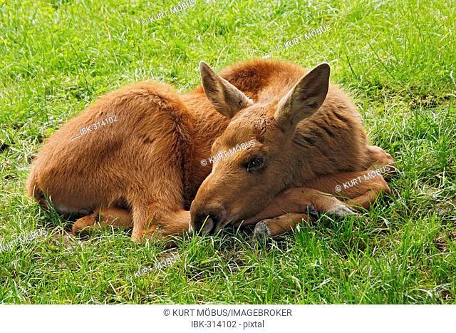 Young elk (Alces alces)