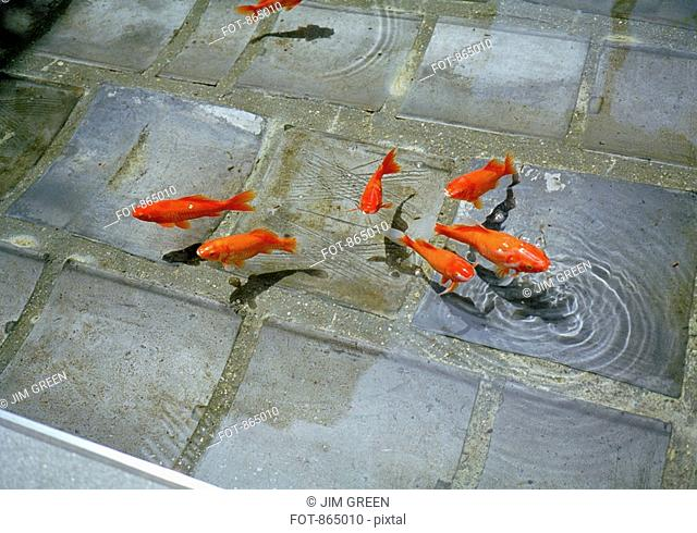 Fish swimming in a stone pond