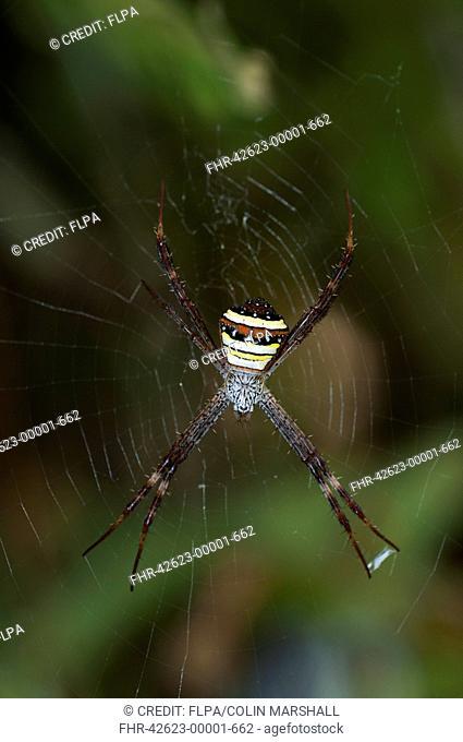 Multicoloured St. Andrew's Cross Spider (Argiope versicolor) adult female, on web, Klunkung, Bali, Lesser Sunda Islands, Indonesia, September