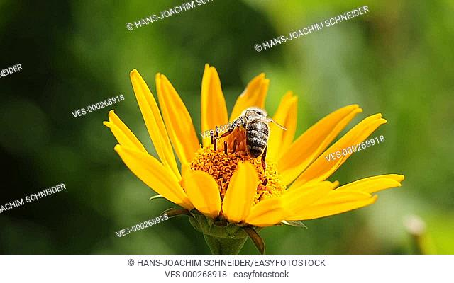 rudbeckia flower with bee
