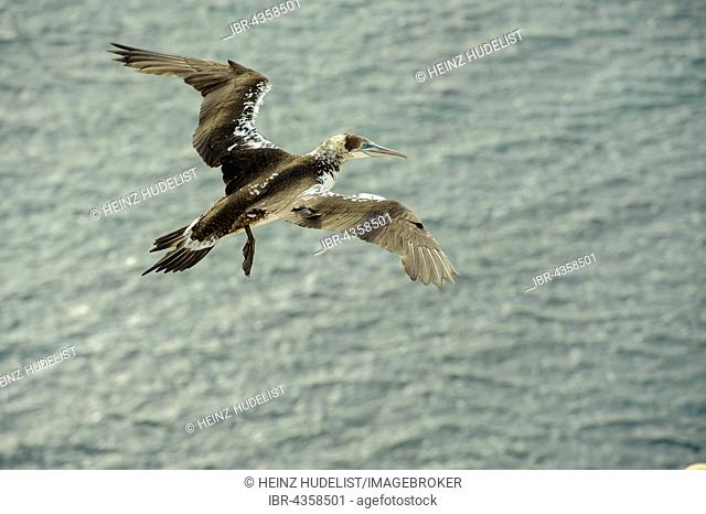 Northern Gannet (Morus bassanus) young bird in flight, Heligoland, Schleswig-Holstein, Germany