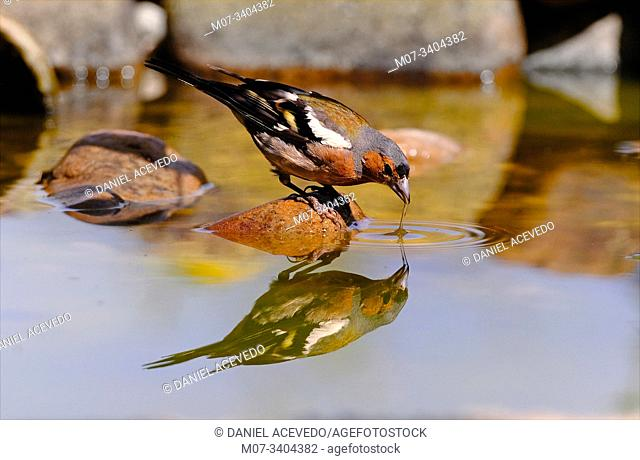 Common chaffinch (Fringilla coelebs), north of Spain