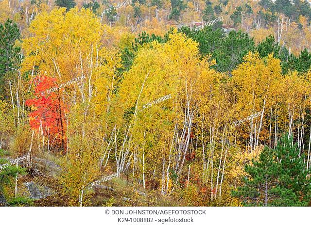 Birches and red maple on rocky hillside