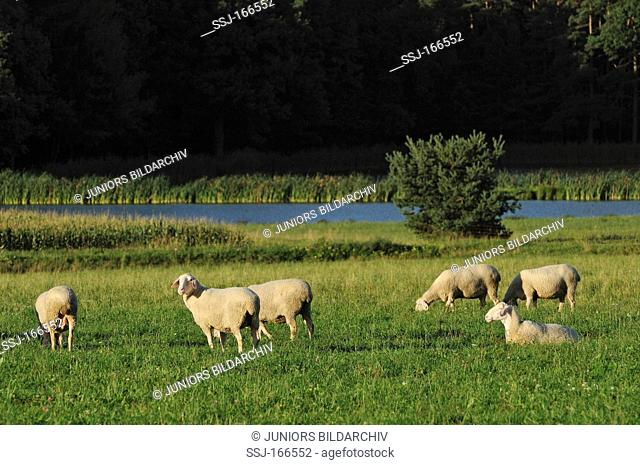 Sheep - herd on meadow