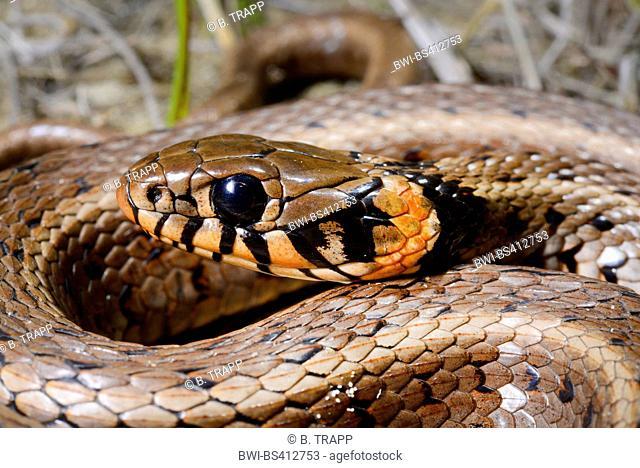 grass snake (Natrix natrix), portrait of a grass snake with orange spots at the collar, Romania, Dobrudscha, Biosphaerenreservat Donaudelta