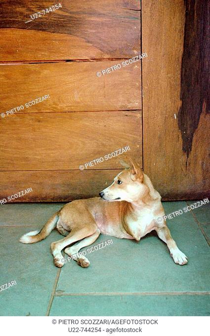 Assagao Goa, India, a crippled dog at the International Animal Rescue center