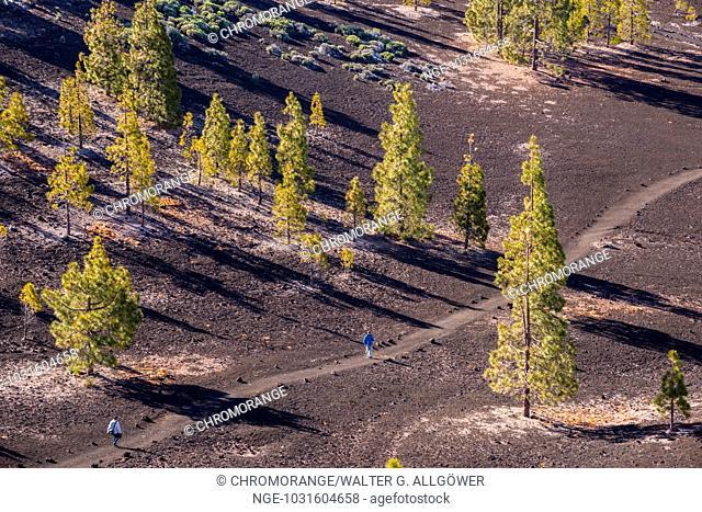 Kanarische Kiefern (Pinus canariensis), Mirador de Chio, Teide-Nationalpark, Teneriffa, Kanaren, Spanien, Europa